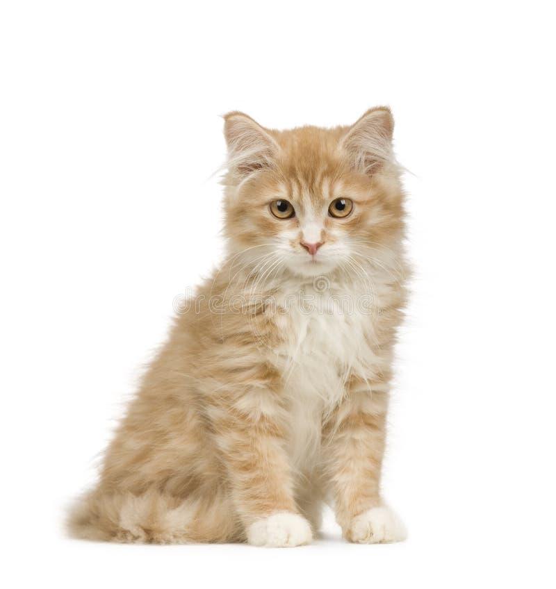 12个猫西伯利亚人星期 图库摄影