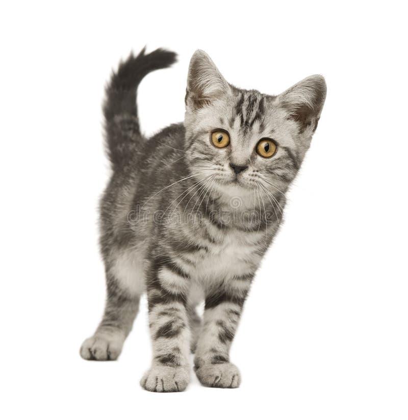 12个猫西伯利亚人星期 免版税库存照片