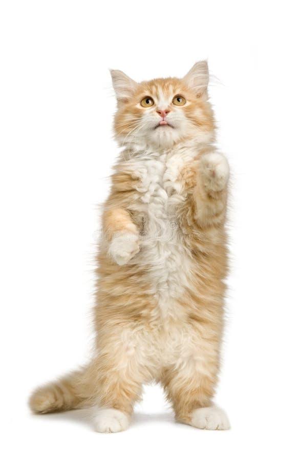 12个猫西伯利亚人星期 库存图片
