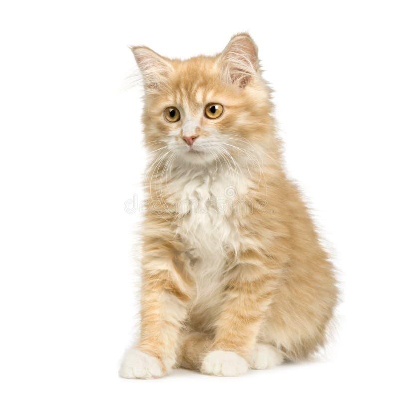 12个猫西伯利亚人星期 库存照片