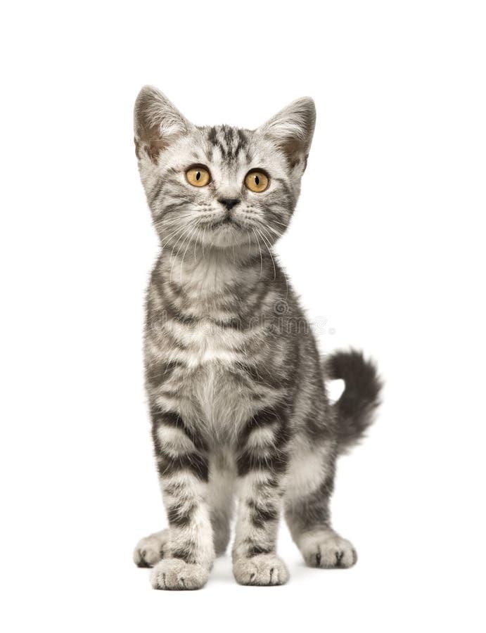 12个猫西伯利亚人星期 免版税图库摄影