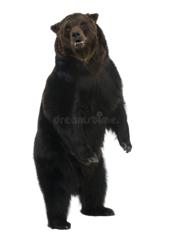 12熊棕色老西伯利亚常设年 免版税库存照片