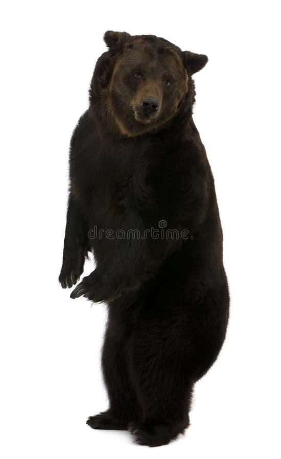 12熊棕色老西伯利亚常设年 库存图片
