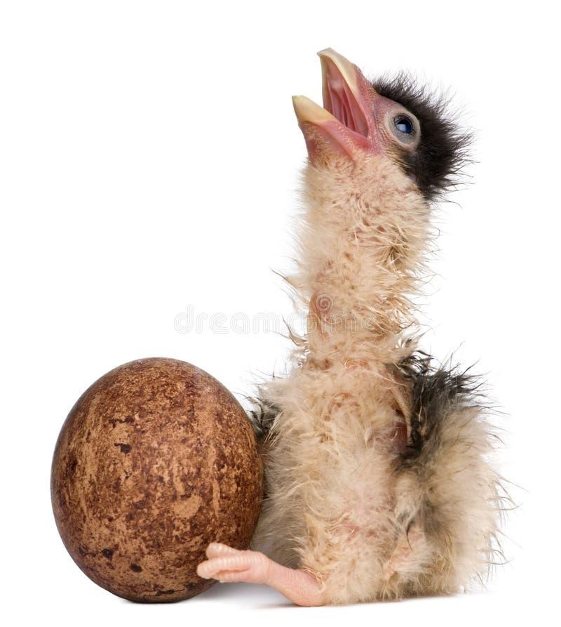 12长腿兀鹰小鸡时数年纪南部 免版税库存图片