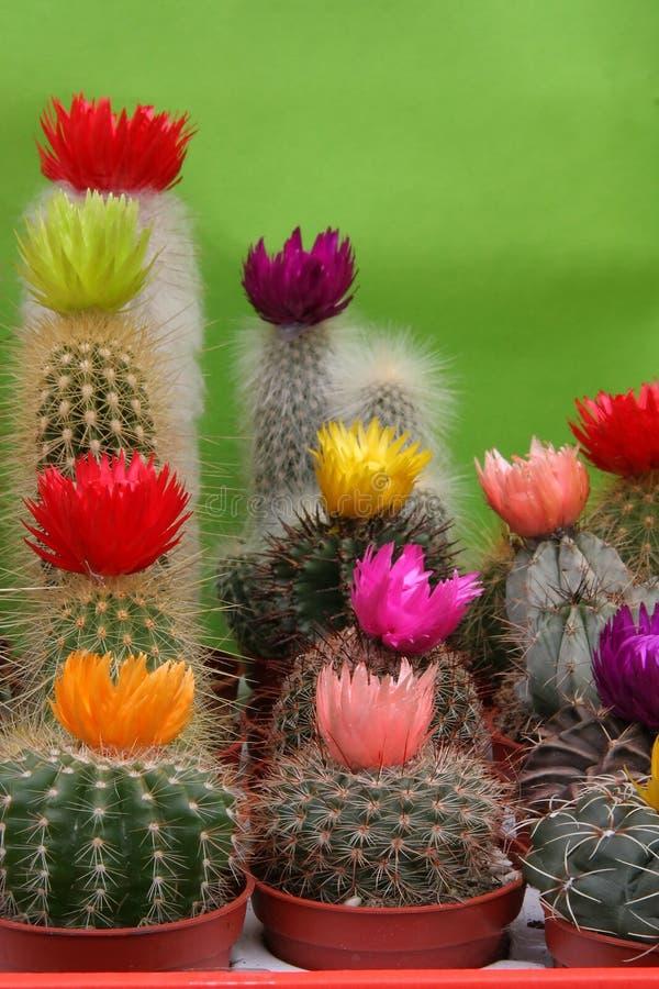 12 cactusses 库存图片