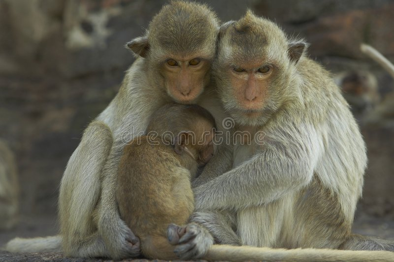 12 małpa zdjęcia stock