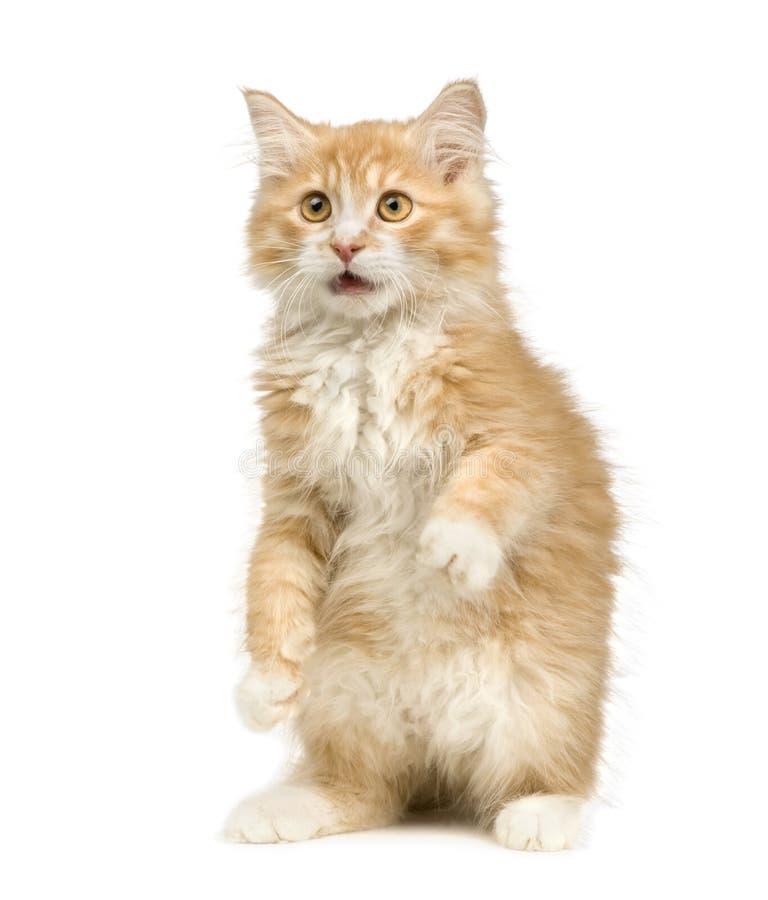 12 tygodnie siberian kota fotografia stock