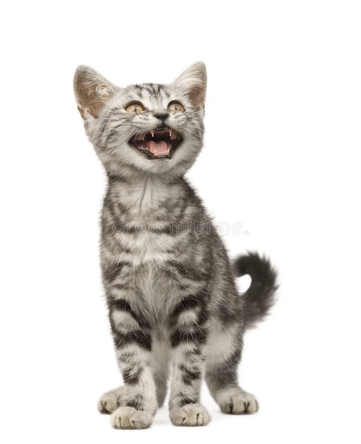 12 tygodnie siberian kota obraz stock
