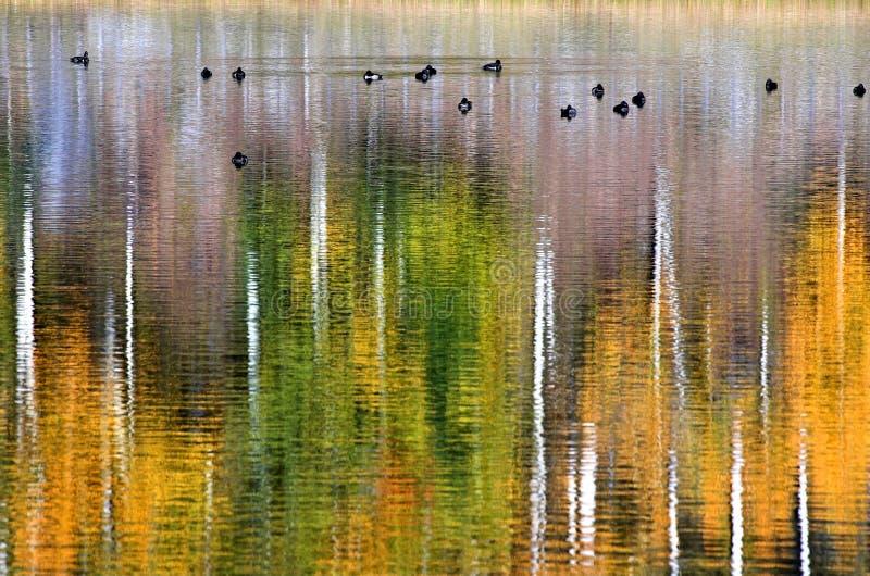 13只鸭子金黄池塘 免版税图库摄影