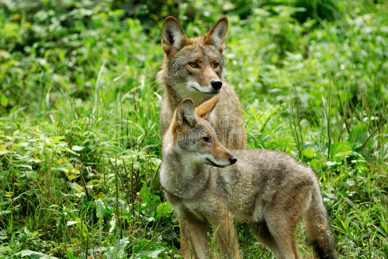 (1369) Coyotes stock photography