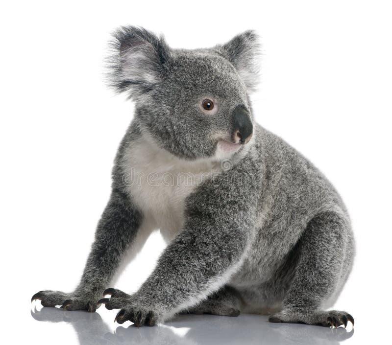 14 детеныша phascolarctos месяцев koala cinereus стоковое фото