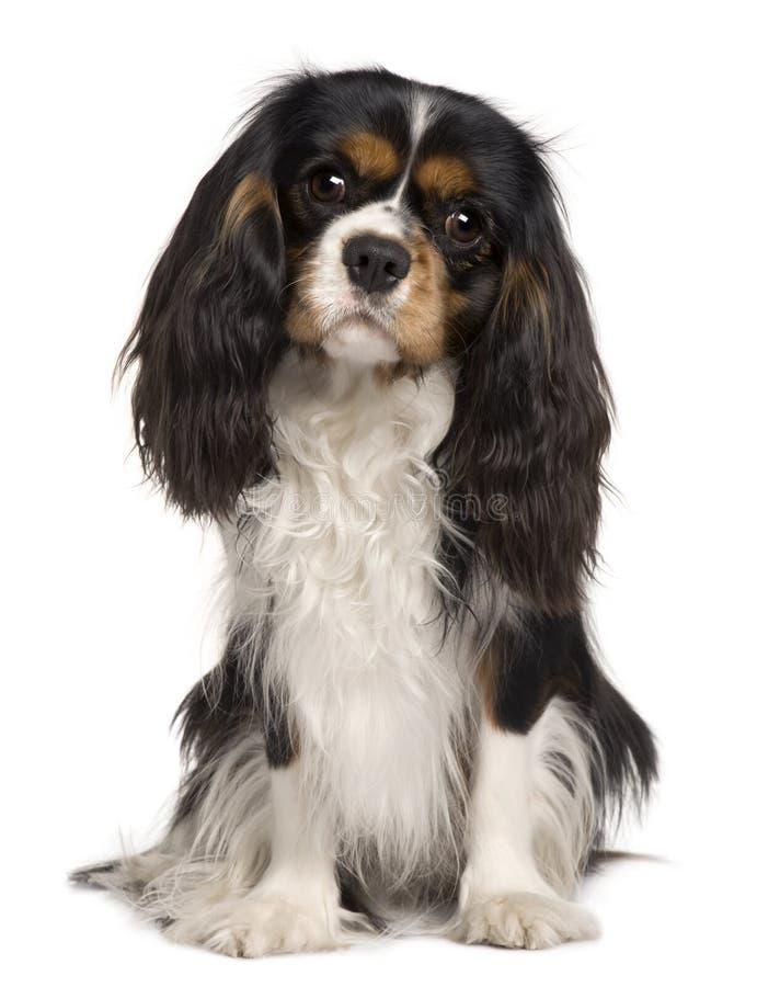 14 kawalerów Charles psich królewiątka miesiąc starego obrazy royalty free