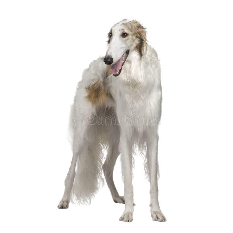 15个俄国猎狼犬月俄语猎狼犬 免版税图库摄影