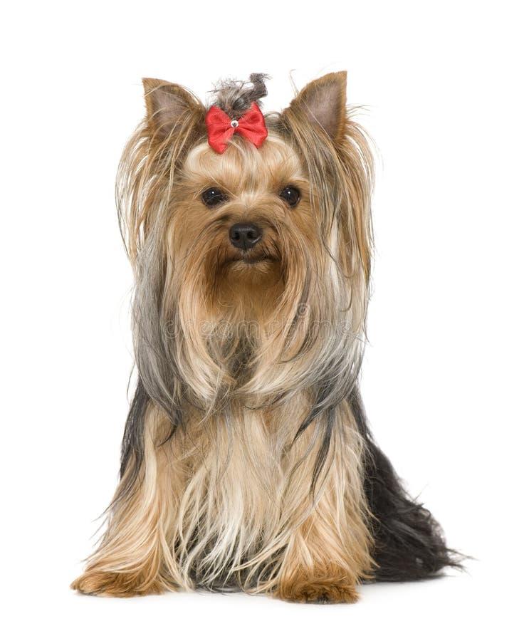 15个月狗约克夏 免版税库存图片