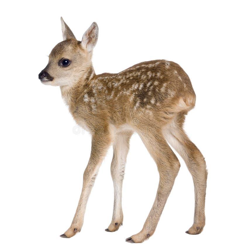 15只狍属日鹿小鹿老獐鹿 免版税库存图片