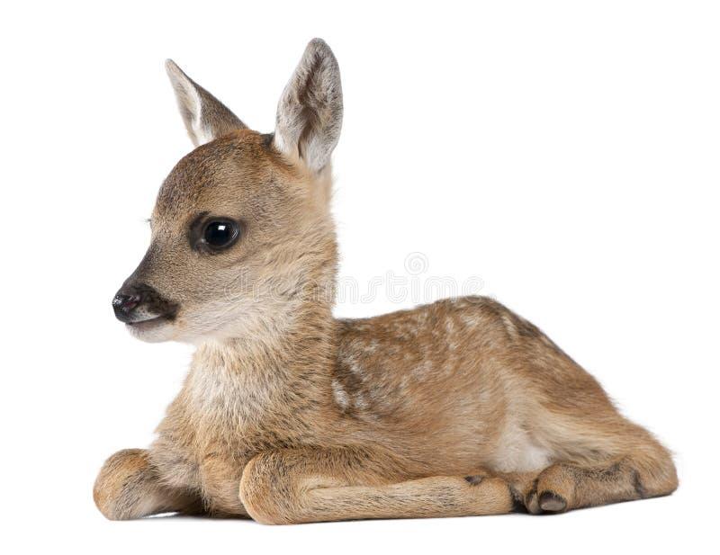 15头狍属鹿下来讨好位于的獐鹿 库存图片