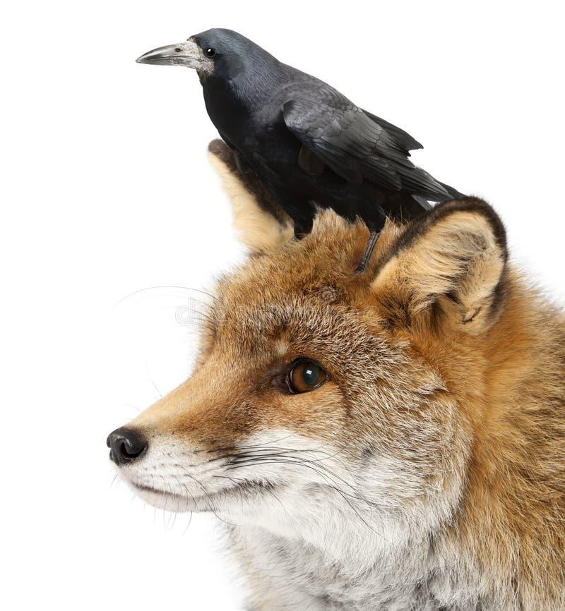15狐狸老红色狐狸年 库存图片