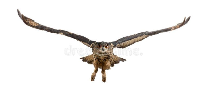 15 år för owl för buboörneurasian gammala royaltyfria bilder