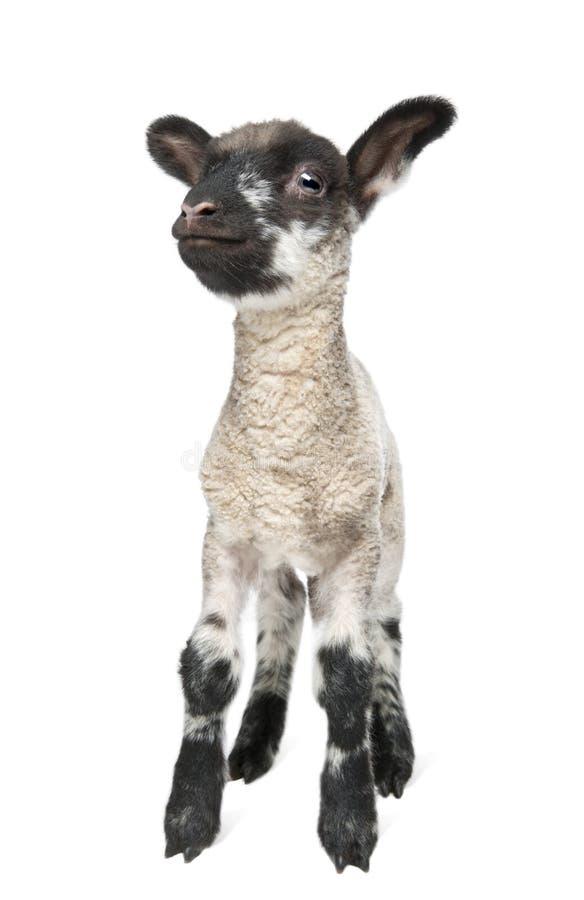 15 jours noirs d'appareil-photo faisant face au blanc d'ol d'agneau images libres de droits