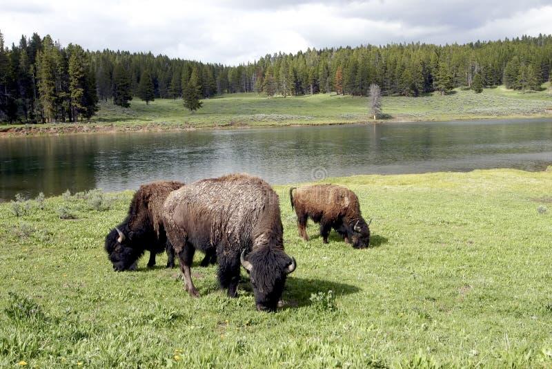156 bizon of Buffels in Nationaal Park Yellowstone royalty-vrije stock foto