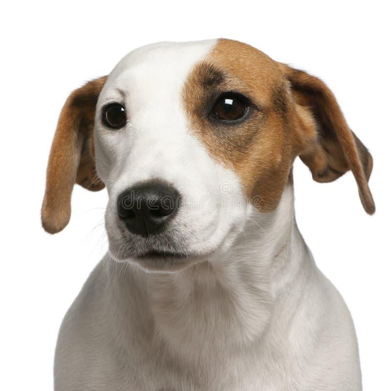 16个接近的插孔月罗素狗 免版税图库摄影