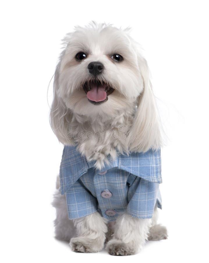 17个狗穿戴的马尔他月衬衣  库存图片