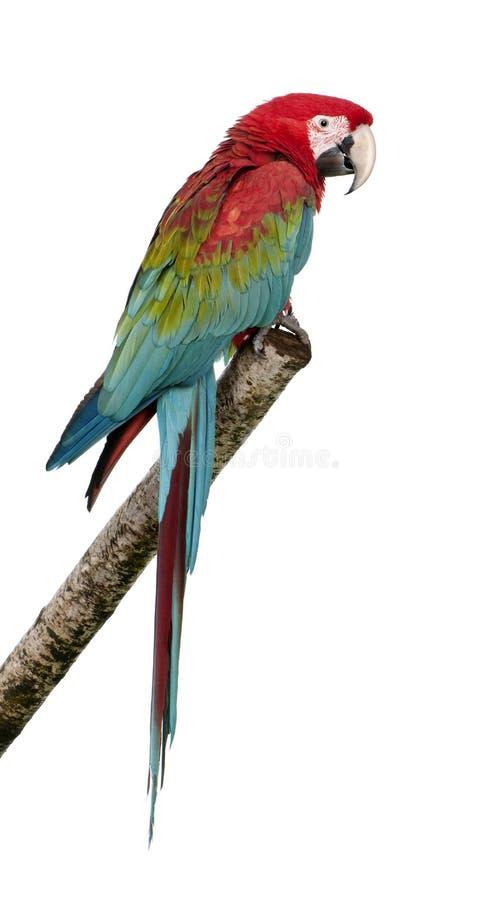 18 mois de macaw de vert de chloropterus d'ara à ailes photographie stock libre de droits