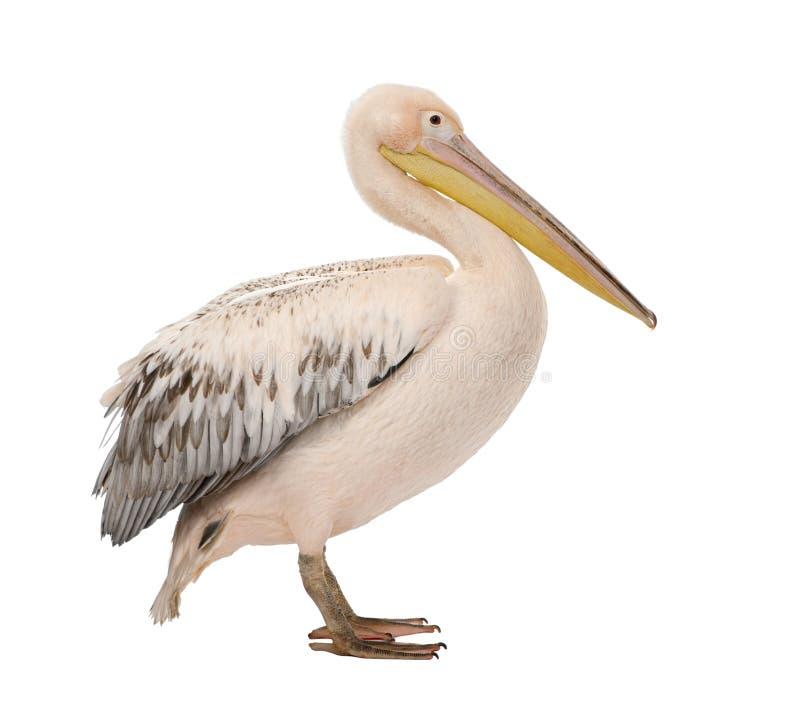 18 onocrotalus pelecanus месяцев белизны пеликана стоковые фотографии rf