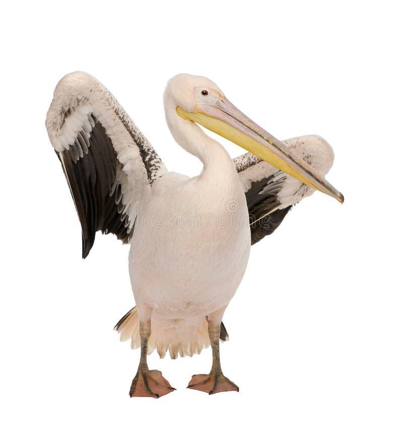 18 onocrotalus pelecanus месяцев белизны пеликана стоковое изображение
