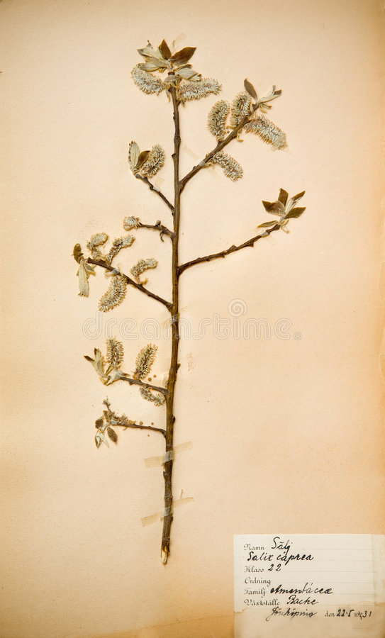 1930s flower pressed στοκ φωτογραφία
