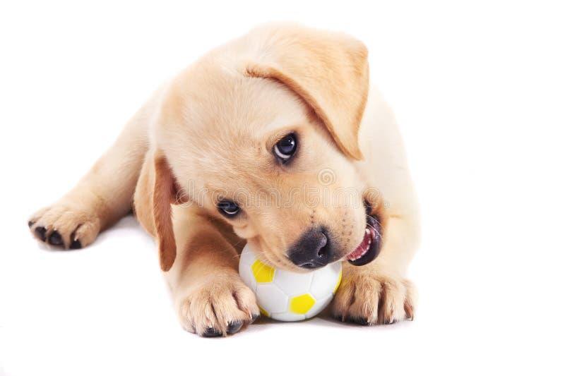 2个与球的月大拉布拉多猎犬小狗 图库摄影