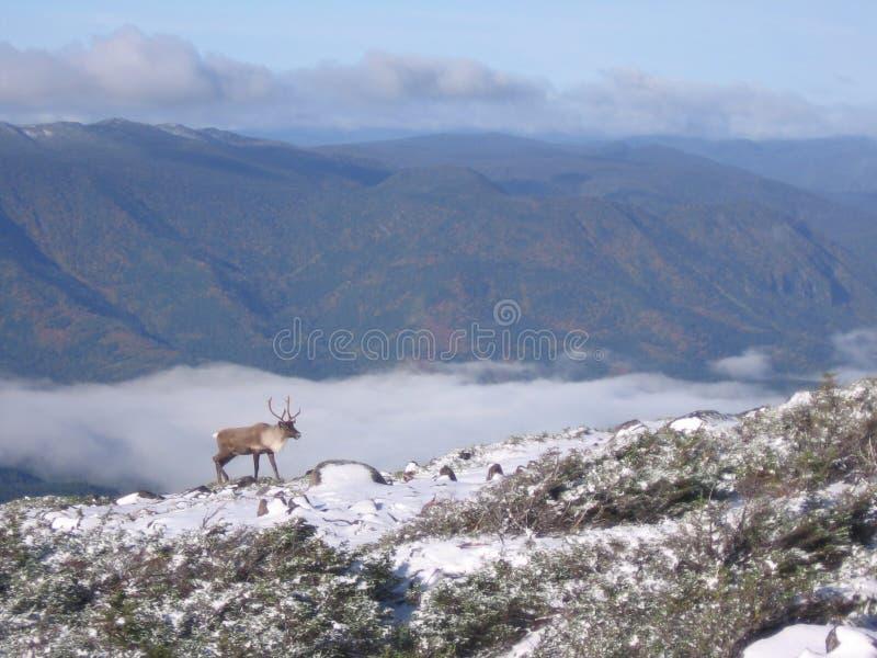 2个北美驯鹿sur xalibu 图库摄影