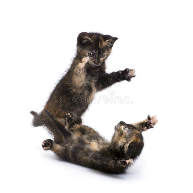2个小猫月龟甲二 库存照片