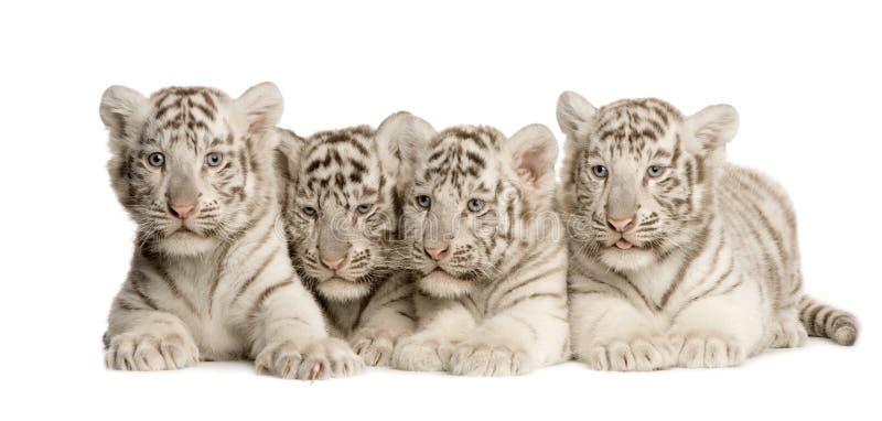 2个崽月老虎白色 库存照片