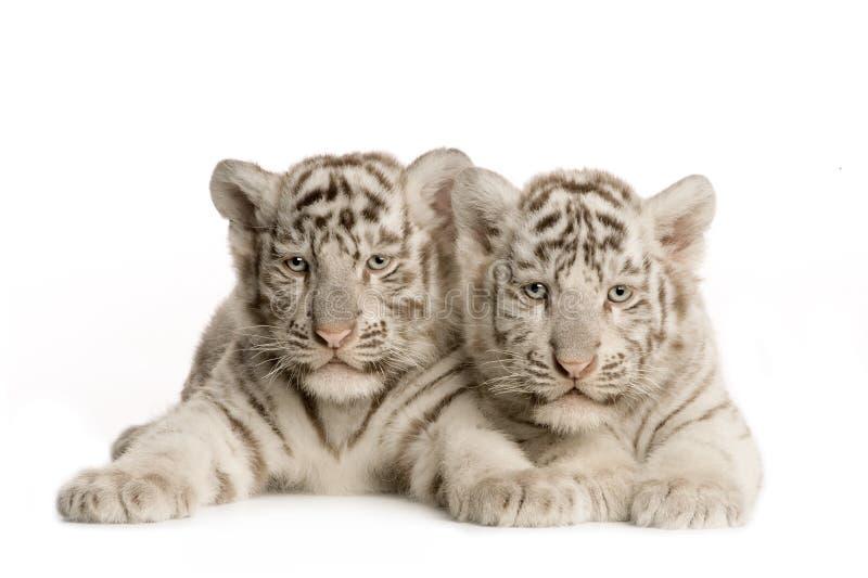 2个崽月老虎白色 免版税图库摄影