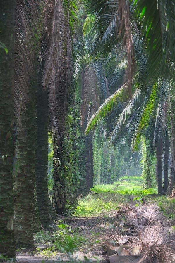 2个庄园油棕榈树系列 图库摄影