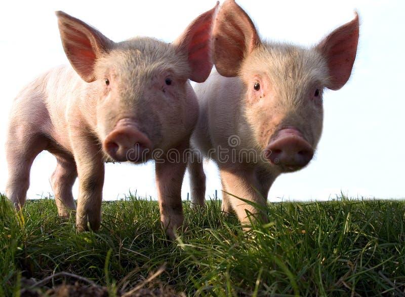 2个接近的小猪 免版税库存图片