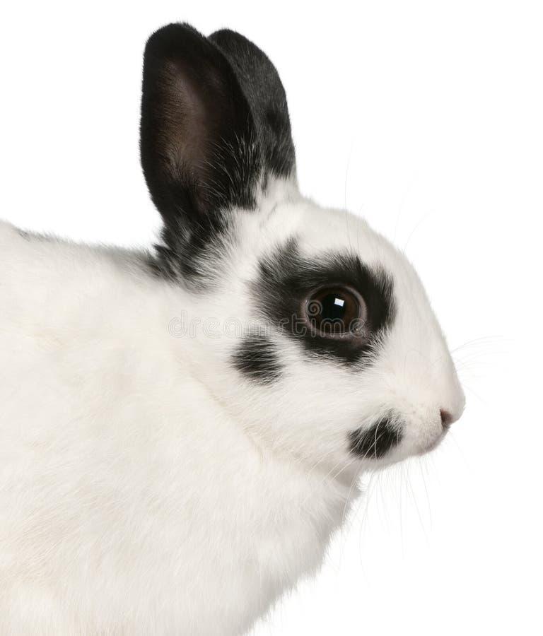 2个接近的达尔马希亚月兔子 免版税库存图片