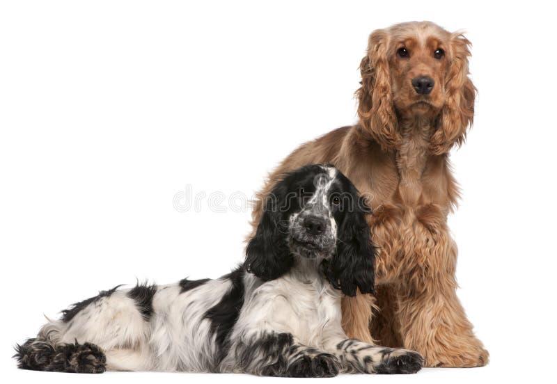 2个斗鸡家英国老西班牙猎狗二年 免版税图库摄影