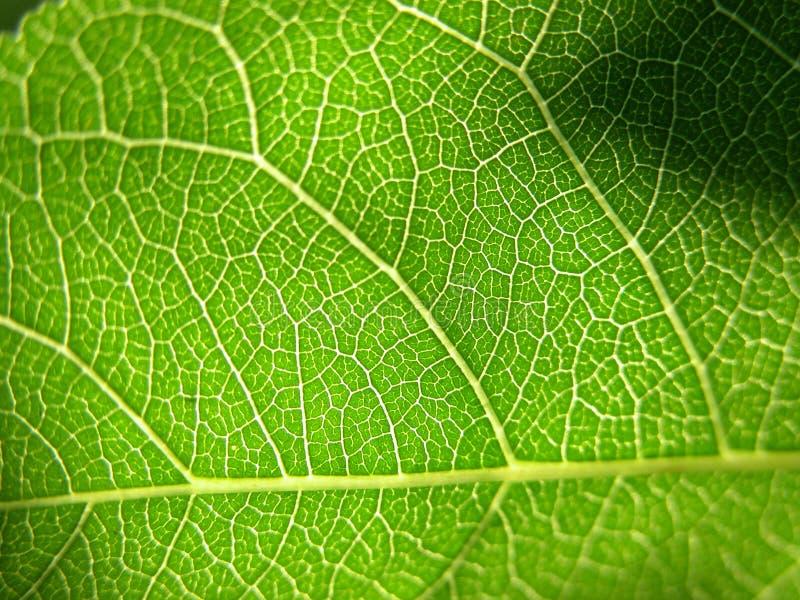 2个特写镜头绿色叶子 免版税图库摄影