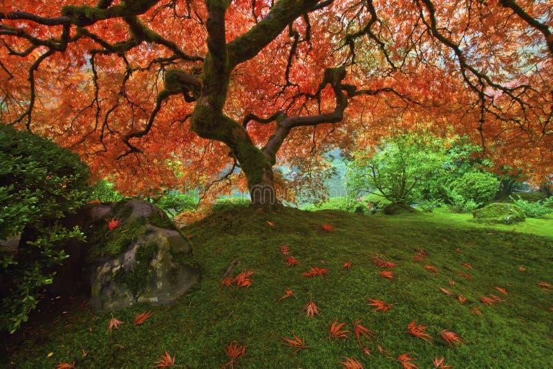 2个秋天鸡爪枫结构树 库存图片