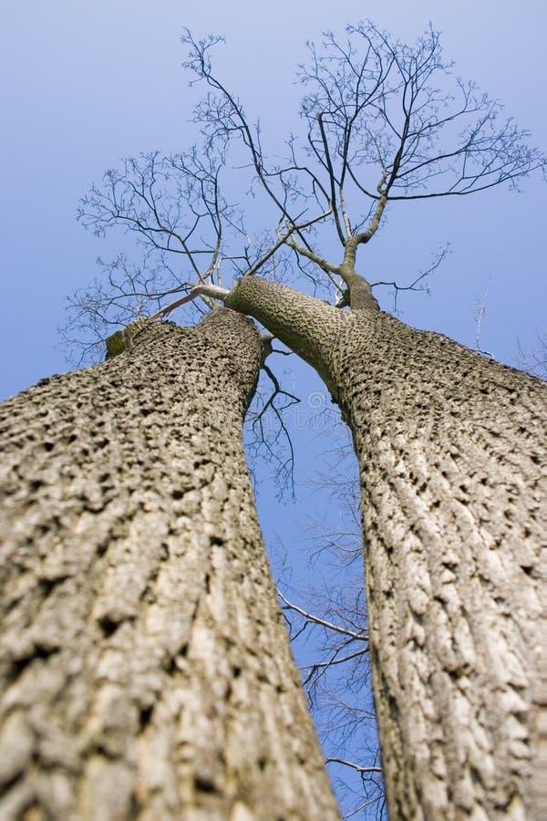 2个结构树 图库摄影