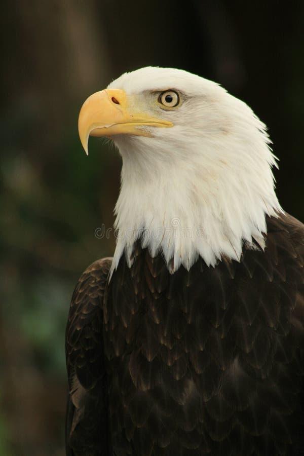 2个美国人老鹰 库存图片