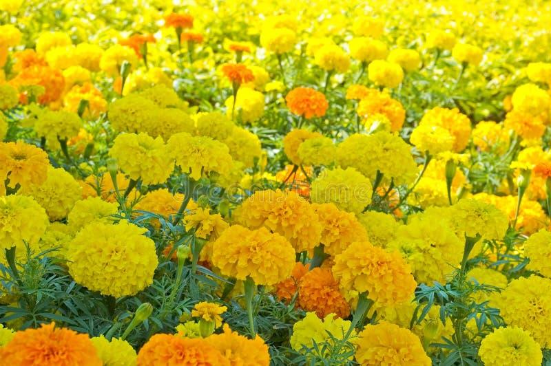 2个花圃万寿菊 库存照片