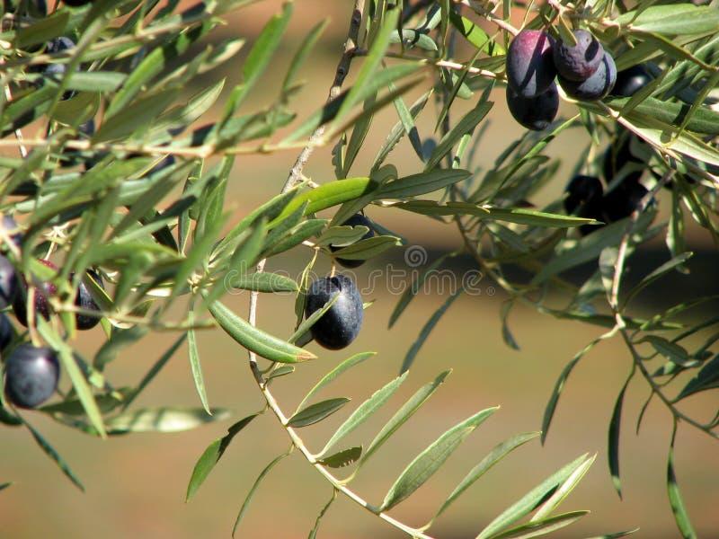 2个andalucia橄榄 免版税库存图片