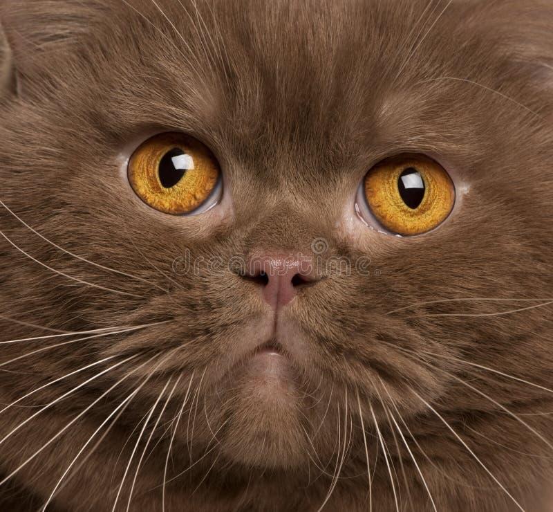 2几年的英国猫关闭老shorthair 库存照片