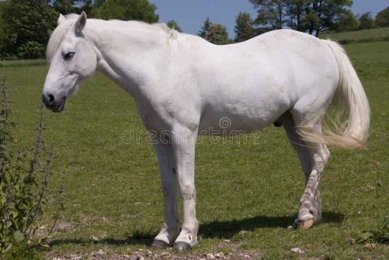 2匹马白色 库存照片