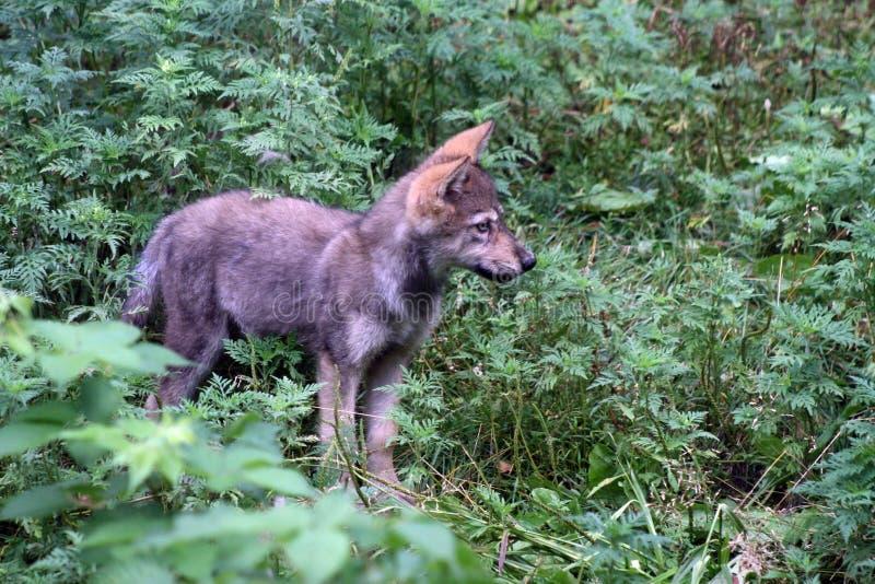 2只小狗狼 免版税库存图片