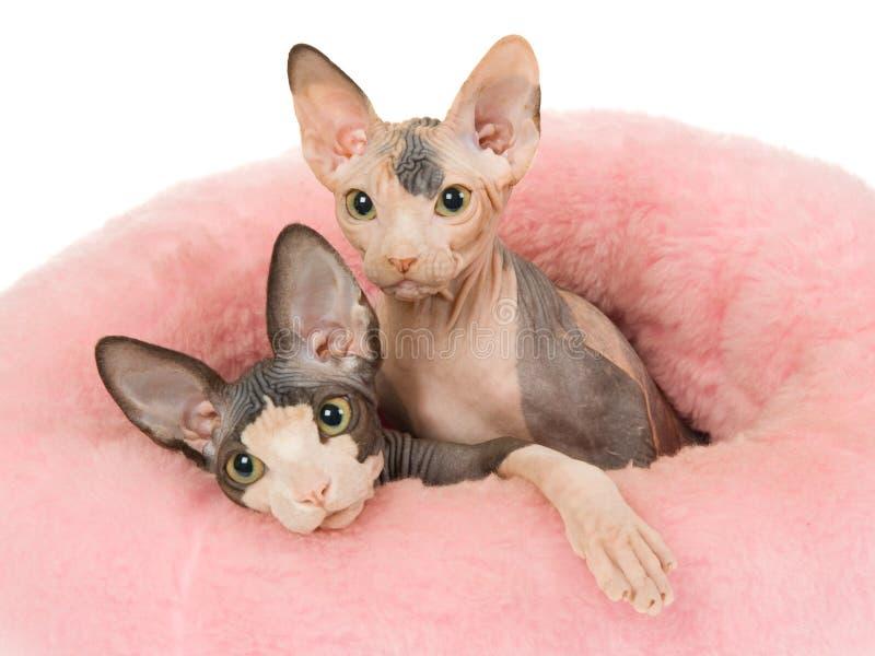 2只河床逗人喜爱的毛皮小猫桃红色sphynx 免版税库存照片