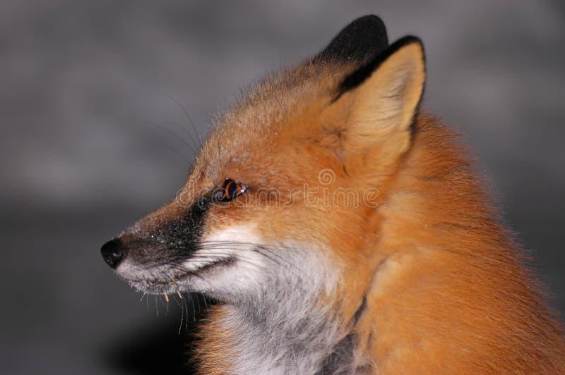 2只狐狸纵向红色 库存照片